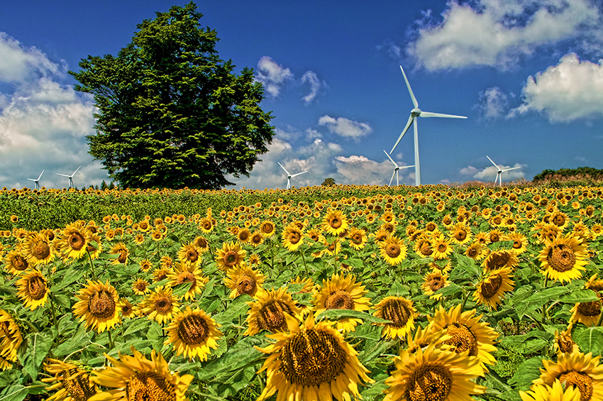 ①:向日葵畑を渡る風 遠藤みどり様 撮影場所:福島県郡山市 布引高原